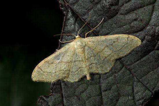 encyclopédie larousse en ligne - papillon de nuit