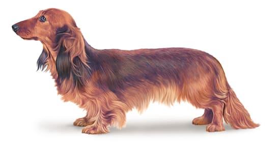 Encyclopédie Larousse en ligne - races de chien