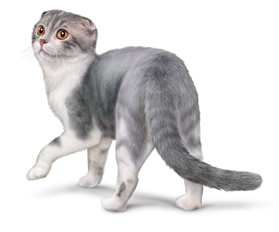 Chat scottish fold ou scottish fold