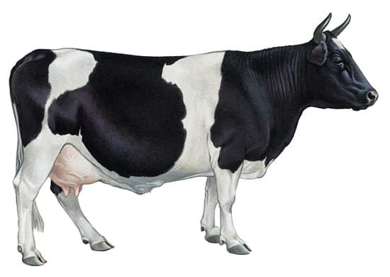 Encyclopédie Larousse en ligne - Vache de race bretonne pie noire.