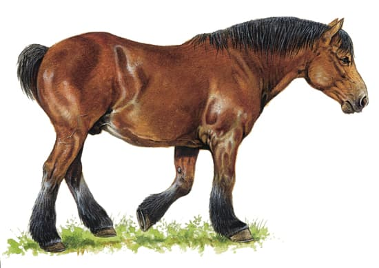 Encyclop die larousse en ligne races de cheval - Dessin cheval de trait ...
