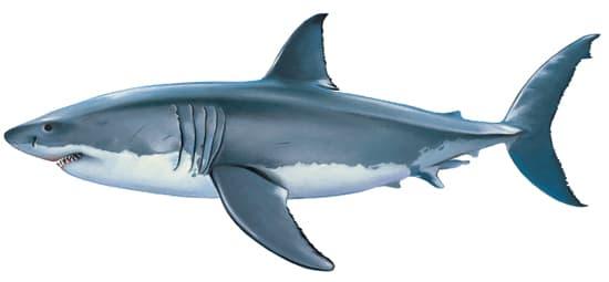 Encyclop die larousse en ligne requin blanc - Dessin de grand requin blanc ...