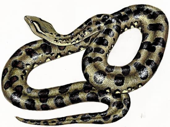Encyclop die larousse en ligne serpent latin serpens entis de serpere ramper - Dessin de vipere ...
