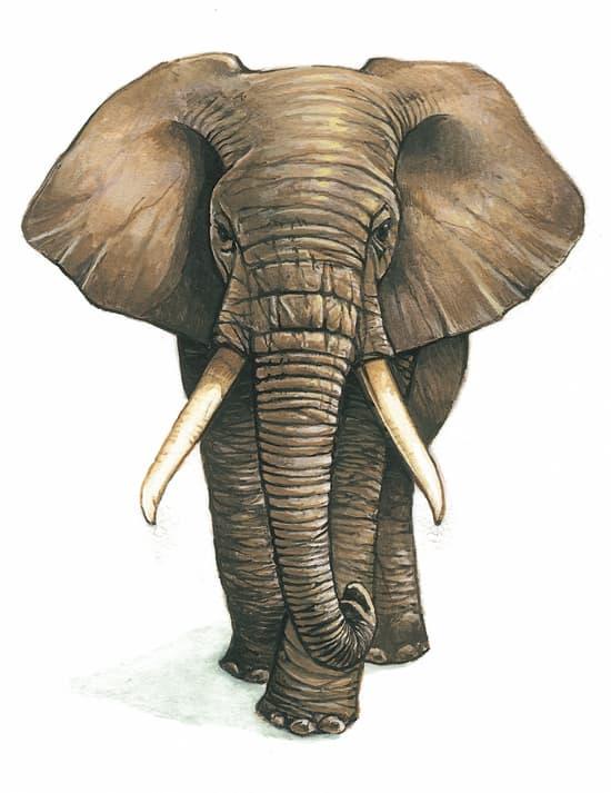 encyclop die larousse en ligne l phant latin elephantus du grec elephas antos. Black Bedroom Furniture Sets. Home Design Ideas