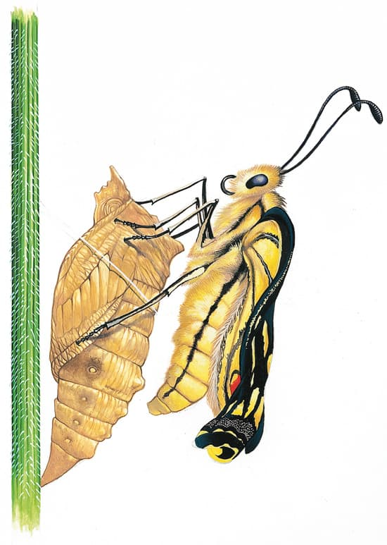 Métamorphose de la chenille du machaon (phase 7)