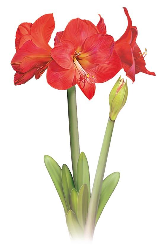 Encyclop die larousse en ligne amaryllis for Signification amaryllis