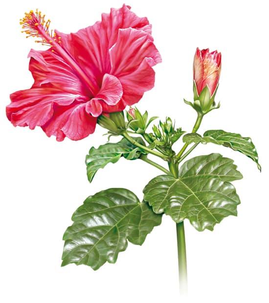 Encyclop die larousse en ligne hibiscus latin hibiscus - Dessin d hibiscus ...