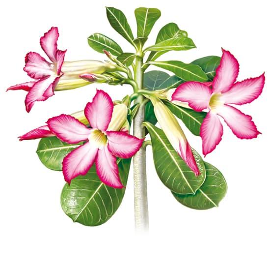Encyclop die larousse en ligne rose du d sert for Rose en ligne