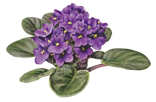 Encyclop die larousse en ligne saintpaulia ou violette for Violette africane