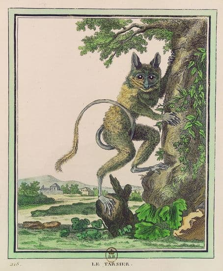 Buffon, <i>Collection des animaux quadrupèdes</i> : le tarsier