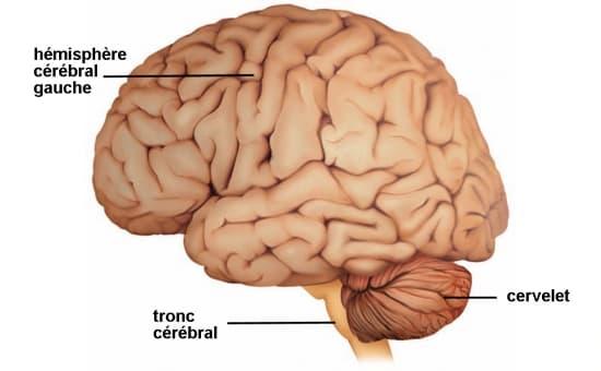 encyclop die larousse en ligne cerveau latin cerebellum diminutif de cerebrum cerveau. Black Bedroom Furniture Sets. Home Design Ideas
