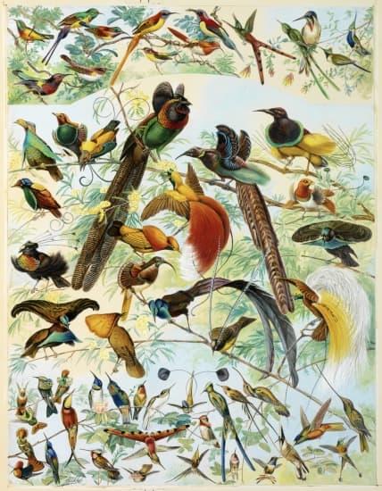 encyclop die larousse en ligne oiseaux de paradis et oiseaux mouches. Black Bedroom Furniture Sets. Home Design Ideas