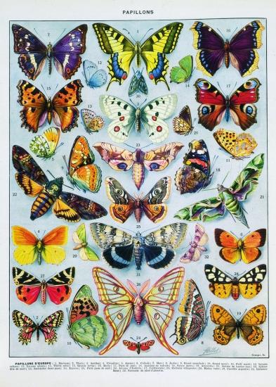 Encyclop die larousse en ligne papillons d 39 europe - Images de papillon ...