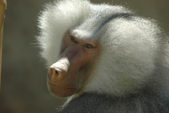 Fesses de singe rouge