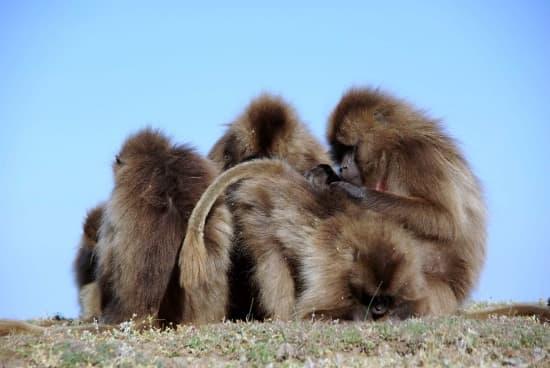 Encyclop die larousse en ligne babouin racine onomatop e bab - Babouin et belette ...