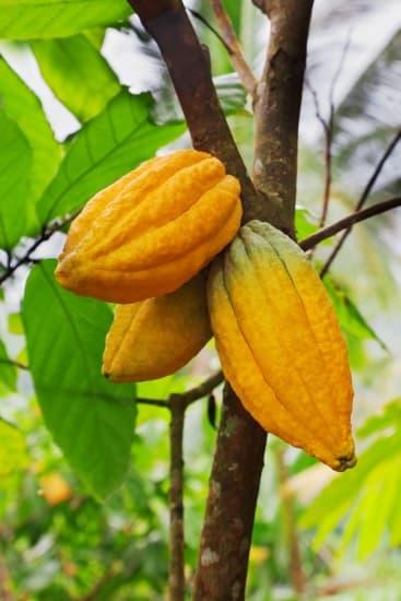 encyclop die larousse en ligne cacao espagnol cacao du nahuatl cacahuatl. Black Bedroom Furniture Sets. Home Design Ideas