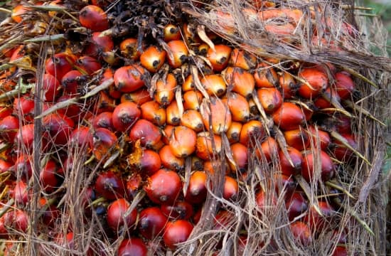 encyclopédie larousse en ligne - palmier de palme