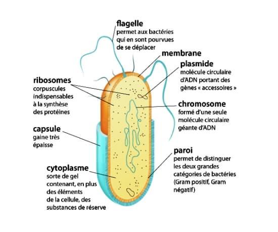 Encyclopédie Larousse en ligne - bactérie latin scientifique bacterium du  grec baktêrion petit bâton